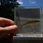 figure 7 northern common shiner - Syers Lake Dam Fisheries 2019