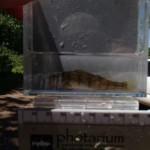 figure 8 yellow perch - Syers Lake Dam Fisheries 2019